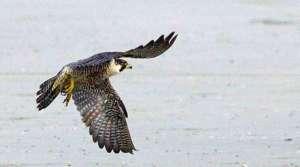 falcon in Marathon Key